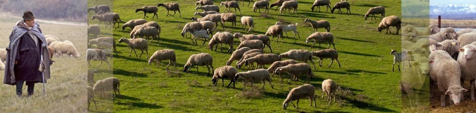 Schafe und Menschen